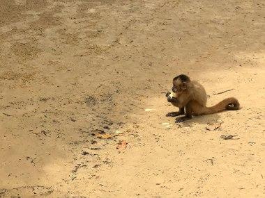 Macaco prego em Vassouras